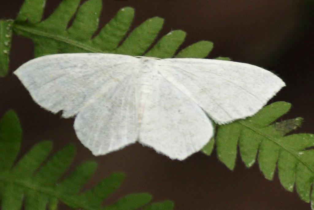 White geometridae moth (4)