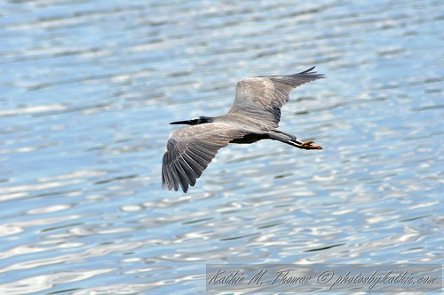 White faced Heron skimming lake