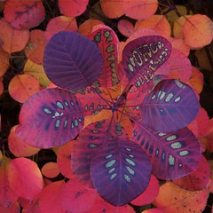 Autumn garden Cotinus coggygria Royal Purple showing leaf pattern (Four Seasons Garden) Tags: charity uk november autumn red england urban black west colour tree english fall beautiful leaves marie gardens garden four leaf all pattern seasons purple dusk smoke country picture royal sumac tony foliage national fourseasons venetian scheme urbangarden staffordshire newton walsall englishgarden midlands cotinus blackcountry ngs nationalgardenscheme coggygria fourseasonsgarden charityopendays yahoo:yourpictures=myautumn