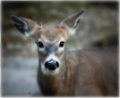 Angel Eyes and teeny tiny antlers (Sandy/Scarlett Images  Finally back!) Tags: eyes deer buck whitetailbuck babybuck focalsoften tinyantlers sandy131scarlettimages sandymilliken