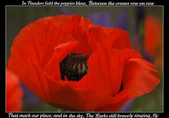 We Shall Remember (makeupanid) Tags: red flower green scarlet garden war poem purple bokeh poppy poppies remembranceday inflandersfields famour someoneelsesgarden johnmccrae