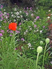 Poppies and Spring Phlox (bill barber) Tags: pink flowers blue red orange plants white ontario canada flower beer yellow photoshop wonderful garden emblem cuisine death austria bill weed symbol oz wizard sleep tombstone kerala william pasta peony southern soil corona elements barber pastry latex greenery positive remembranceday disturbed peel ornamental mississauga magical region phlox opium emeraldcity peonies false clownshoes papaver offerings resurrection morphine codeine flandersfields paeony streetsville bloodred wickedwitchofthewest billbarber eternal