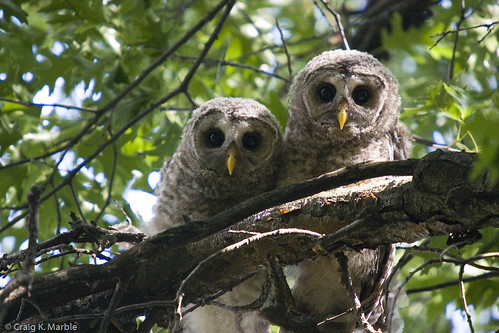 Barred Owl Owlets