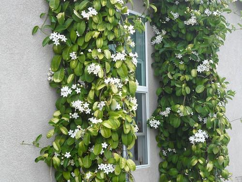 madagascar jasmine by hiphophooray.