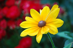 Yellow (brucenotbrian) Tags: flower yellow catchycolors ma unitedstates naturallight nikond50 sunderland floweryellow 70300mmapodgmacro