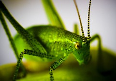 Green Giant (Chitrakari) Tags: macro green closeup garden insect interestingness searchthebest cricket explore canon350d colourful naturesfinest supershot flickrsbest specanimal photology anawesomeshot superbmasterpiece wowiekazowie diamondclassphotographer flickrdiamond ysplix theunforgetablepictures misfotosfavoritas