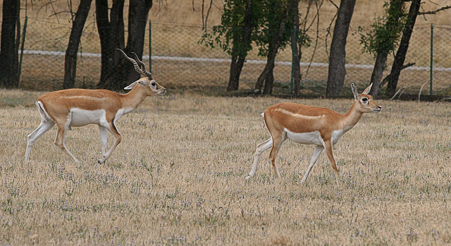 Black Buck Rebuff