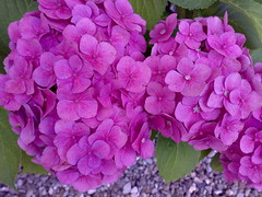 I fuldt flor (Die Asta) Tags: blomster lilla