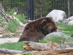DSCN7871.JPG (TallTrent) Tags: bear west garbage wolf montana bears 7 august center testing container yellowstone grizzly discovery wolves 2007 grizzlies resistant westyellowstonemontana grizzlyandwolfdiscoverycenter grizzlywolfdiscoverycenter