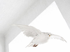 Flying for Peace (Firenzesca) Tags: white fly peace pace volare