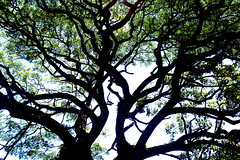 IMG_4129.JPG (nia-briana) Tags: tree waipio
