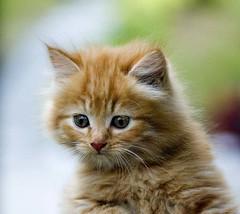 DSC_2883 (Kurt (orionmystery.blogspot.com)) Tags: pink blue pet cute closeup cat nose ginger eyes furry kitty fluffy kitteh bestofcats