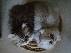 La 100 me... (catherine.caf) Tags: cat persian kitten chat searchthebest soe chaton persan anawesomeshot