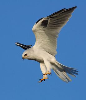 Bloody Feet (White-tailed Kite)