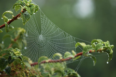 (Mark Rutter) Tags: spider drops web dew glistening naturesfinest i120 explored