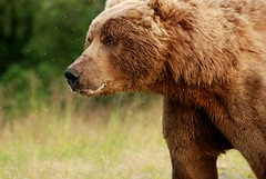 papa bear (unfocused mike) Tags: bear brown animal alaska scary insects massive flies huge strength shaggy grizzly kodiak colbert carnivore brownbear kodiakbear gnats omnivore supershot godlesskillingmachine