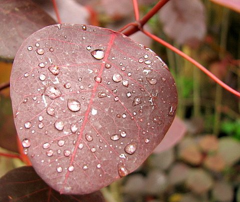 raindrops on a leaf...