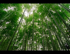 Bamboo Canopy (kaoni701) Tags: park travel nature japan forest landscape temple nikon kyoto wideangle bamboo tokina   nihon 1116 d300s