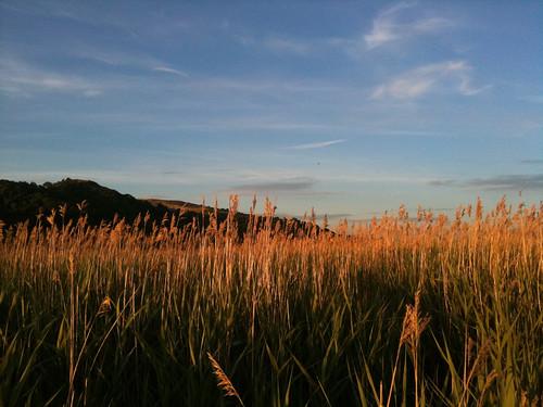 Orange Reeds