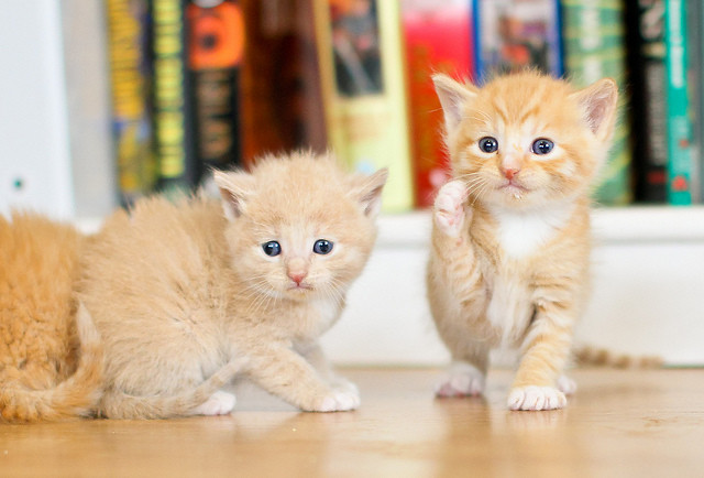 cute ginger kittens