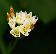 simple flower (M. TANIGUCHI) Tags: white flower macro green yellow abigfave topogigio2007 thatsclassy