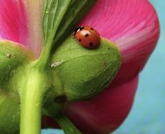 Counting colours (Lalallallala) Tags: summer flower colour macro bug finland outdoors pastel beetle peony ladybird ladybug colourful naturesfinest top20flowersandbugs ryttylä leppäkerttu 25faves hausjärvi flickrdiamond thegoldenmermaid