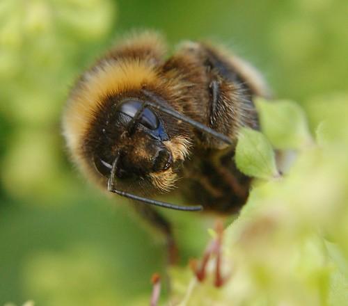 A Mustache!?! -- macro mustache pollen shropshire bee uk