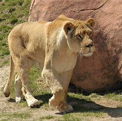 On The Prowl (Dan Sutton) Tags: oneofakind lion torontozoo parkstock supershot specanimals animalkingdomelite mywinners impressedbeauty thenaturegroup