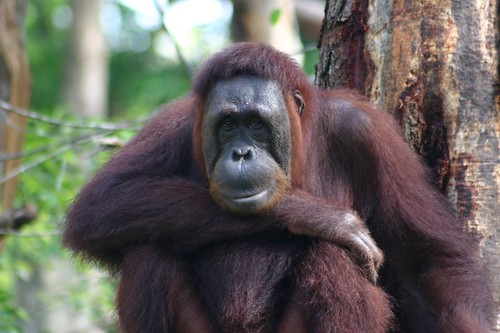Orangutan in Singapore's fantastic Zoological Gardens...
