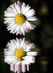 m'Ama o non m'Ama? (FotoRita [Allstar maniac]) Tags: life italy rome flower roma macro colors digital canon daisy fiore myfavourites canoneos350d eos350d margherita lakereflection byfotorita abigfave mamaononmama