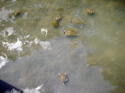 Turtles in swamp on UL Lafayette campus