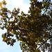 Maple leaves // Feuilles d'érable