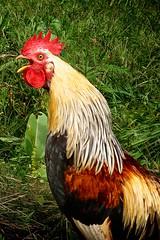 Cock-a-doodle-doo! (LisaNH) Tags: chicken farm nh rooster endangered rare icelandic crowing cockadoodledoo featheryfriday icelandicchicken mackhillfarm growfood ohkeikur