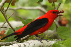 Scarlet Tanager (gregpage1465) Tags: male bird nature scarlet photography photo texas greg wildlife picture page scarlettanager tanager highisland pirangaolivacea gregpage