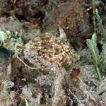 IMG_5449are Planehead Filefish (Stephanolepis hispidus) thumbnail