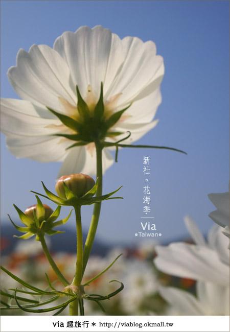 【2010新社花海】via帶大家欣賞全台最美的花海!28