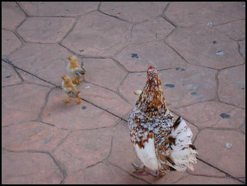 Gallina con pollitos