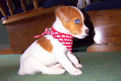 Polly Sitting Pretty (rcvernors) Tags: blue cute eye puppy geotagged jack russell terrier tiny polly bandana rcvernors