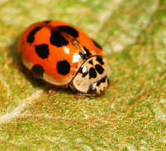 "10-spot Ladybird (Adalia 10-punctata)(3) • <a style=""font-size:0.8em;"" href=""http://www.flickr.com/photos/57024565@N00/560106804/"" target=""_blank"">View on Flickr</a>"