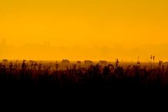 morningcows (hoogmoet) Tags: netherlands sunrise early cows dusk westbroek tienhoven supershot bertbospad superbmasterpiece