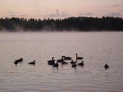Sunrise Geese - by melanieburger