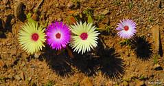 Cephalophyllum tricolorum flowers (Martin_Heigan) Tags: camera flowers flower nature digital southafrica spring nikon close martin dry photograph wildflowers d200 dslr za arid worcester excellence westerncape karoo naturesfinest suidafrika 60mmf28micro vygie blomme nikonstunninggallery heigan mesembs flowerwatcher 12august2007 cephalophyllum tricolorum mhsetnamaqualand mhsetsucculents mhsetuntouched mhsetflowers mhsetkaroo