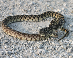"Bullsnake (Marty Jones ""BIRDS OF INDIANA"") Tags: nature jones snake sands marty conservancy ias kankakee bullsnake"