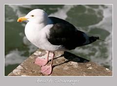 Beach Scavenger (Randy Son Of Robert) Tags: white bird beach pier bokeh santamonica seagull gray canon70200f4l badpoem