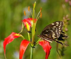 Palamedes Swallowtail & Lily! (Flutterbye_856) Tags: nature ilovenature lily bokeh swallowtailbutterfly specnature worldwidephotographer diamondclassphotographer flickrdiamond betterthangood