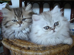 always together... (catherine.caf) Tags: cat persian kitten chat chaton persan supershot abigfave kissablekat bestofcats anawesomeshot impressedbeauty happinessconservancy