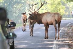 Elk 2007_0930 (Cindy シンデイー) Tags: park stlouis mo missouri lone elk blueribbonwinner loneelkpark goldmedalwinner impressedbeauty goldstaraward
