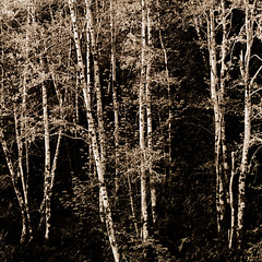~ The Right Place for Love (Mackeson) Tags: oregon robertfrost birches rogueriver mackeson blackwhitefilm leicar7 scannedincolormode fujinropan1600