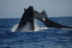 2 Whales (~BJG~) Tags: maui whales humpback dsc6377
