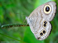 Nepal /  1 (les yeux heureux) Tags: travel nepal brown green eye closeup canon butterfly grey asia unescoworldheritagesite international spotted nationalgeographic npal s500 chitwannationalpark     mywinners  bestofmywinners     lesyeuxheureux christophercasilli